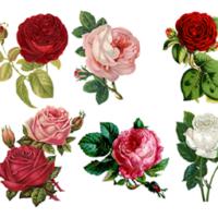 Kuvassa voi olla ruusu