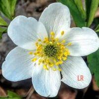 Kuvassa voi olla kukka, luonto ja tekstissä sanotaan LR